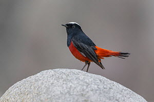 White-capped Water-Redstart (Chaimarrornis leucocephalus) male, Tangjiahe National Nature Reserve, Qingchuan County, Sichuan province, China. - Ingo Arndt