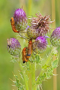 Common Red soldier beetles (Rhagonycha fulva) on Creeping thistle, Sutcliffe Park Nature Reserve, Eltham, London, UK July - Rod Williams