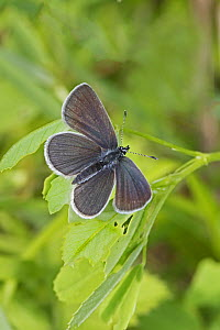 Small blue butterfly (Cupido minimus) male, Britain's smallest butterfly, Hutchinson's Bank, New Addington, London, UK May  -  Rod Williams