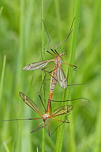 Craneflies (Tipula vernalis) mating pair, Brockley Cemetery, Lewisham, London, UK May - Rod Williams