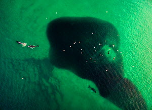 Aerial photo of a school of Atlantic herring (Clupea harengus) in shallow waters with both Humpback whales (Megaptera novaenliae) and Killer whales (Orcinus orca) feeding, coast of Kvaloya, Norway Jan...  -  Espen Bergersen