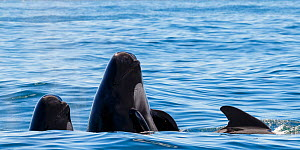 Long-finned pilot whale (Globicephala melas) family at surface, one spyhopping, Andfjorden, And�ya, Norway July - Espen Bergersen