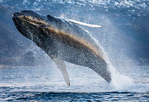 Humpback whale (Megaptera novaeangliae) breaching above surface, Kvaloya, Troms, Norway November  -  Espen Bergersen