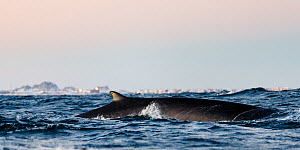 Fin whale (Balaenoptera physalus) surfacing outside Andenes at Andoya, Nordland, Norway, January - Espen Bergersen