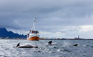 Long-finned pilot whale (Globicephala melas) family pod being watched by whale watchers on boat. Andfjorden, Norway, June - Espen Bergersen