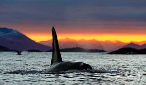 Killer whale / Orca (Orcinus orca) male surfacing at sunset, Kvaloya, Troms, Norway October  -  Espen Bergersen