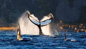 Humpback whale (Megaptera novaeangliae) lobtailing / tail slapping on surface, Killer whale (Orcinus orca) in foreground, Kvaloya, Troms, Norway, October  -  Espen Bergersen