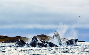 Humpback whales (Megaptera novaeangliae) pod lunge feeding on herring (Clupea harengus) using bubble netting technique for cooperative hunting. Kvaloya, Troms, Norway, November  -  Espen Bergersen