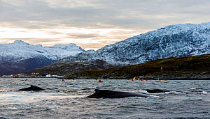 Kayakers getting close contact with a Humpback whale (Megaptera novaeangliae), Kvaloya, Troms, Norway, November - Espen Bergersen