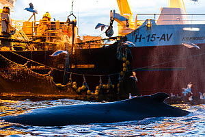 Humpback whale (Megaptera novaeangliae) and fishing vessel pulling in nets full of herring - the whales are feeding on any escaping fish, outside Kvaloya, Norway, December - Espen Bergersen