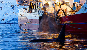 Killer whales (Orcinus orca) next to fishing vessel pulling net full of herring - the whales are feeding on any fish escaping the net, outside Kvaloya, Norway. December  -  Espen Bergersen