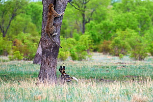 African wild dogs (Lycaon pictus) chasing a Leopard (Panthera pardus) which climbs up a tree to take refuge. Hwange National Park, Zimbabwe. Sequence 3 of 4. - Eric Baccega