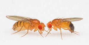 Fruit fly (Drosophila melanogaster) female (left) and male (right) California Institute of Technology, USA, December 2016.  -  Floris  van Breugel