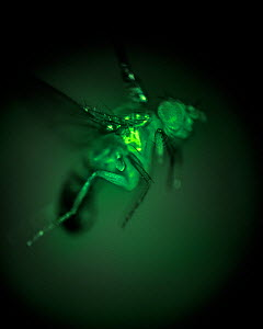 High speed exposure of a Fruit fly (Drosophila melanogaster) taken through a microscope. In this image flight muscles express a genetically engineered protein called GCaMP, which fluoresces green in t...  -  Floris  van Breugel