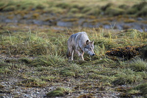 Coastal wolf (Canis lupus) genetically distinct from other Grey wolves,  Great Bear Rainforest, British Columbia, Canada  -  Doc White
