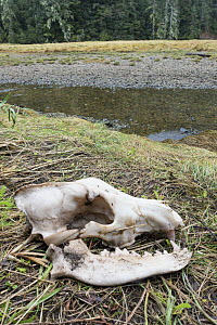 Coastal wolf skull (Canis lupus) genetically distinct from other grey wolves,  Great Bear Rainforest, British Columbia, Canada  -  Doc White