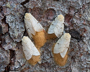 Gypsy moths (Lymantria dispar) females and eggs on tree trunk, Delaware Water Gap, New Jersey, USA July - Doug Wechsler