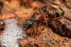 Ferruginous carpenter ant (Camponotus chromaiodes) worker feeding at alcohol flux - fermented sap of  white oak tree (Quercus sp) - Fort Washington State Park, Pennsylvania, USA August  -  Doug Wechsler