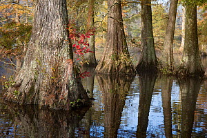 Bald cypress (Taxodium distichum) in pond, at north end of cypress range, Trap Pond State Park, Delaware, USA  -  Doug Wechsler