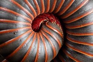 Coiled millipede (Narceus americanus) Washington State Park, Pennsylvania, USA  -  Doug Wechsler