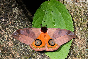 Moth (Automeris sp) with wings open showing eye spots, Province Loja, Jorupe Biological Reserve, Ecuador  -  Doug Wechsler