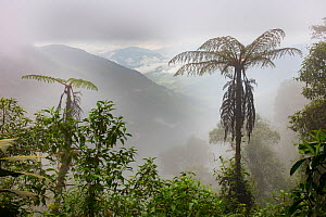 Tree ferns in cloud forest, Province Zamora-Chinchipe, Tapichalaca Biological Reserve, Ecuador, March  -  Doug Wechsler
