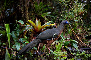 Sickle-winged guan (Chamaepetes goudotii) Province  Zamora-Chinchipe, Tapichalaca Biological Reserve, Ecuador, March - Doug Wechsler