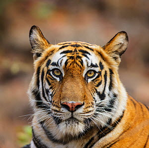 Bengal tiger (Panthera tigris tigris) female head portrait, Bandhavgarh National Park   India. - Tony Heald