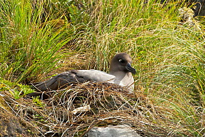 Light mantled sooty albatross (Phoebetria palpebrata)  brooding small chick at it's nest on a low cliff ledge,    Musgrave Inlet, Auckland Island, New Zealand Subantarctic Islands January  -  Mike Potts