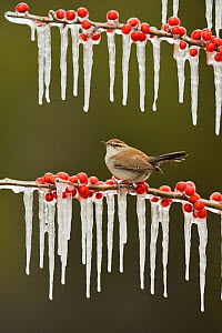 Bewick's wren (Thryomanes bewickii), adult perched on icy branch of Possum Haw Holly (Ilex decidua) with berries, Hill Country, Texas, USA. February - Rolf Nussbaumer