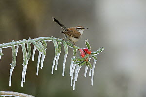 Bewick's wren (Thryomanes bewickii), adult perched on icy branch of Christmas cholla (Cylindropuntia leptocaulis), Hill Country, Texas, USA. January  -  Rolf Nussbaumer