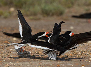 Black skimmer (Rynchops niger), adults in flight fighting at colony, Port Isabel, Laguna Madre, South Padre Island, Texas, USA. June - Rolf Nussbaumer