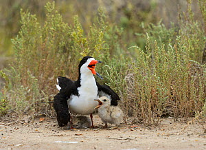 Black skimmer (Rynchops niger), adult with young, Port Isabel, Laguna Madre, South Padre Island, Texas, USA. June - Rolf Nussbaumer