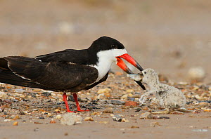 Black skimmer (Rynchops niger), adult feeding fish to chick, Port Isabel, Laguna Madre, South Padre Island, Texas, USA. June - Rolf Nussbaumer