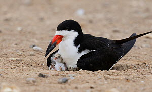 Black skimmer (Rynchops niger), adult with chick, Port Isabel, Laguna Madre, South Padre Island, Texas, USA. June - Rolf Nussbaumer
