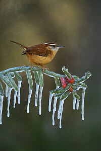 Carolina wren (Thryothorus ludovicianus), adult perched on icy branch of Christmas cholla (Cylindropuntia leptocaulis), Hill Country, Texas, USA. January  -  Rolf Nussbaumer