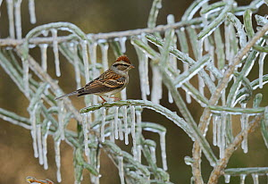 Chipping Sparrow (Spizella passerina), adult perched on icy branch of Christmas cholla (Cylindropuntia leptocaulis), Hill Country, Texas, USA. January - Rolf Nussbaumer