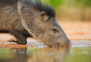 Collared peccary (Tayassu tajacu), adult drinking, South Texas, USA. May - Rolf Nussbaumer