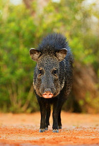 Collared peccary (Tayassu tajacu), adult, South Texas, USA. May - Rolf Nussbaumer