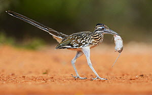 Greater roadrunner (Geococcyx californianus), adult with mouse prey, Rio Grande Valley, South Texas, Texas, USA. June  -  Rolf Nussbaumer