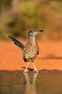 Greater roadrunner (Geococcyx californianus), adult drinking, Rio Grande Valley, South Texas, Texas, USA. June  -  Rolf Nussbaumer