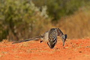 Greater roadrunner (Geococcyx californianus), adult displaying, Rio Grande Valley, South Texas, Texas, USA. May  -  Rolf Nussbaumer