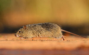 Hispid Cotton Rat (Sigmodon hispidus), adult at waters edge running, South Texas, USA. May - Rolf Nussbaumer