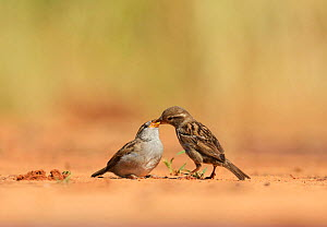 House Sparrow (Passer domesticus), female feeding young, Rio Grande Valley, South Texas, Texas, USA. May - Rolf Nussbaumer