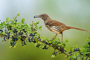 Long-billed thrasher (Toxostoma longirostre), adult eating Elbow bush (Forestiera pubescens) berries, Rio Grande Valley, South Texas, Texas, USA. May  -  Rolf Nussbaumer