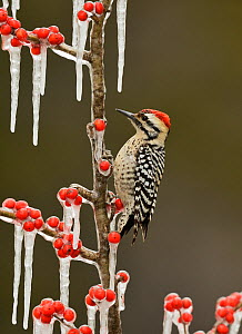 Ladder-backed Woodpecker (Picoides scalaris), adult male perched on icy branch of Possum Haw Holly (Ilex decidua) with berries, Hill Country, Texas, USA. February - Rolf Nussbaumer