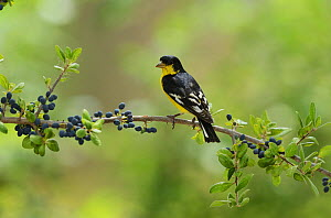 Lesser Goldfinch (Carduelis psaltria), adult male perched on Elbow bush (Forestiera pubescens) with berries, Hill Country, Texas, USA. May  -  Rolf Nussbaumer