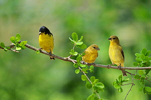 Lesser Goldfinch (Carduelis psaltria), adult male with young, Hill Country, Texas, USA. May  -  Rolf Nussbaumer