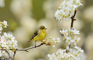 Lesser Goldfinch (Carduelis psaltria), female perched in flowering Mexican Plum (Prunus mexicana) , Hill Country, Texas, USA. March  -  Rolf Nussbaumer
