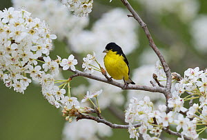 Lesser goldfinch (Carduelis psaltria), male perched in flowering pear tree (Pyrus sp.), Hill Country, Texas, USA, March.. March  -  Rolf Nussbaumer